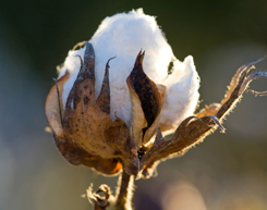 Focus on Prices and Spending: The Impact of Soaring Cotton Prices on Consumer Apparel Prices